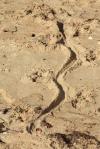 NT_croc_track