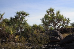Pandanus, near Mount Borradaile