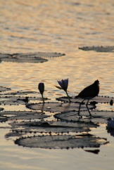 Comb Crested Jacana (known as the Jesus Bird)
