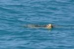 NT_D7_063_PortEssington_turtle