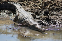 There were freshwater crocs