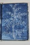 Indigo plant. White conte crayon