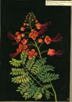 Mary Delany Poinciana Pulcherrima (Decandria Monogynia) © Trustees of the British Museum