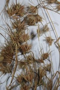 Kangaroo grass